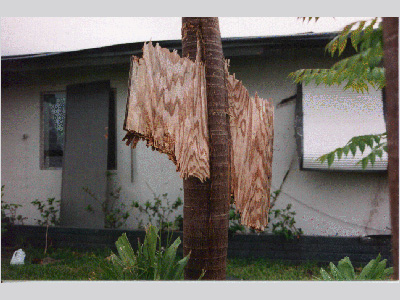 Winds from Hurricane Andrew (1992) were strong enough to shoot a piece of plywood through a tree trunk.